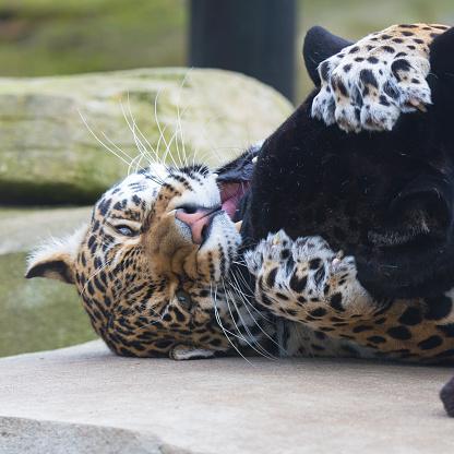 Leopard Och Svart Leopard-foton och fler bilder på Afrika