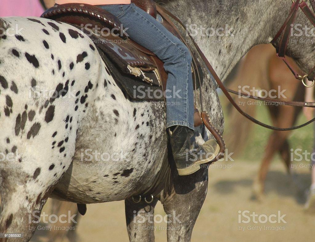 Leopard Appaloosa Horse stock photo