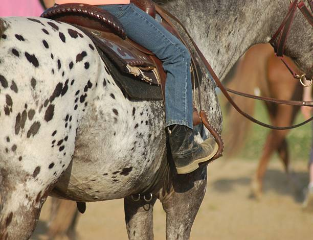 Leopard Appaloosa Horse  appaloosa stock pictures, royalty-free photos & images