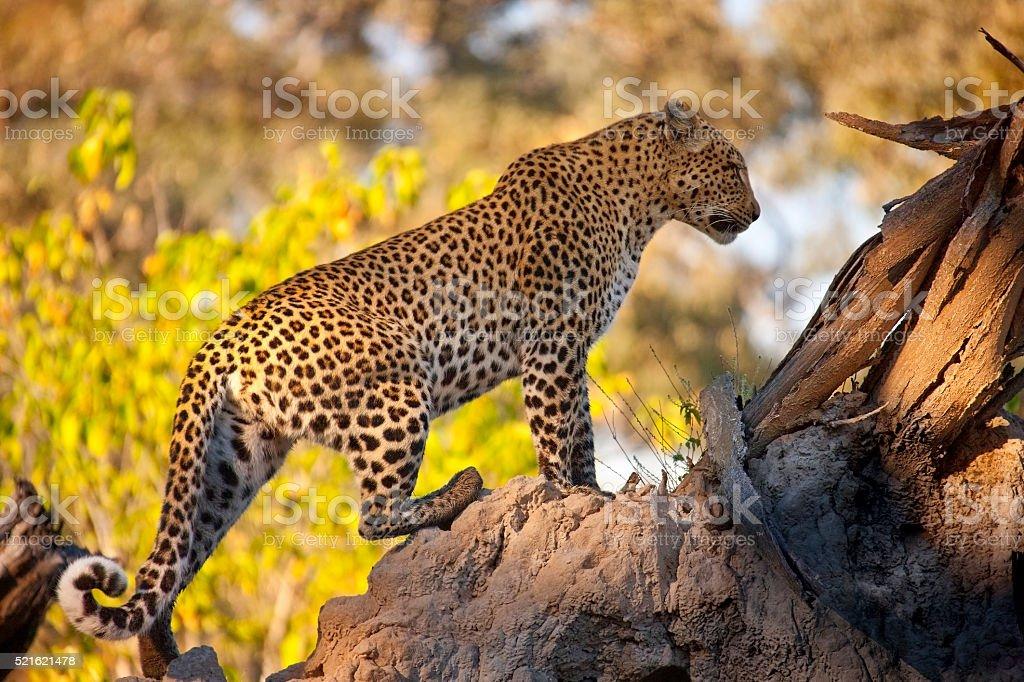 Leopard (Panthera pardus) - Botswana stock photo