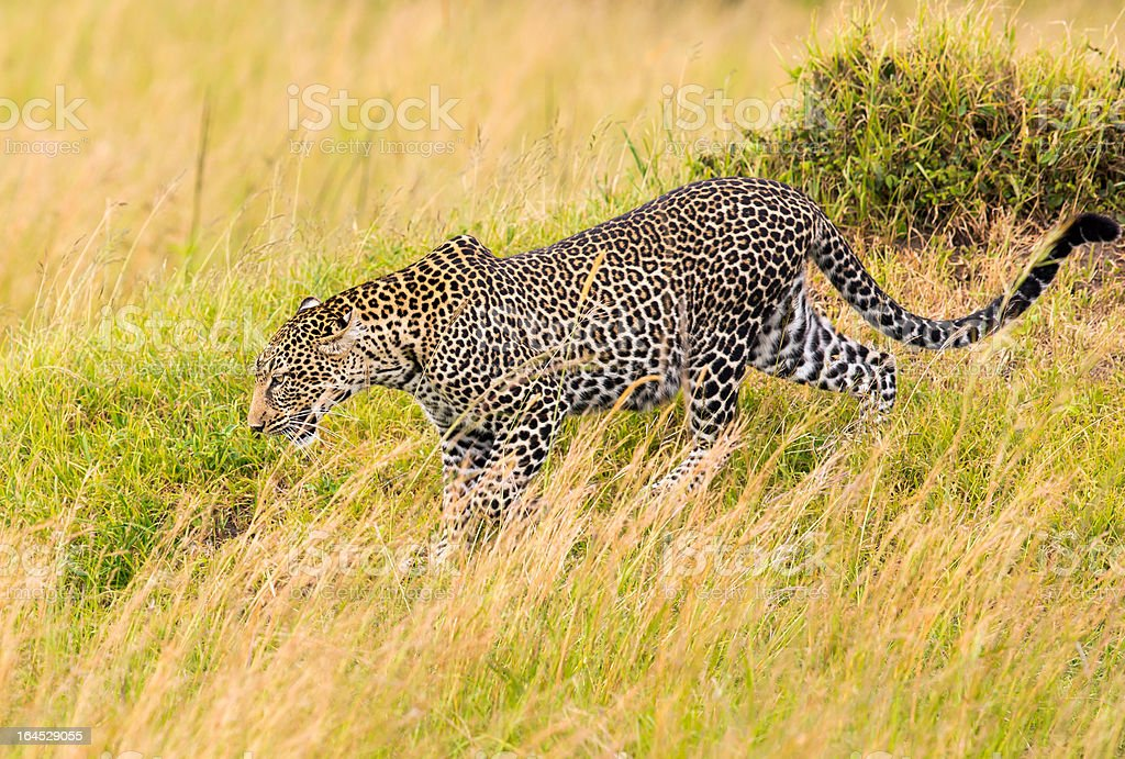 Leopard - camouflage, walking to bushes royalty-free stock photo