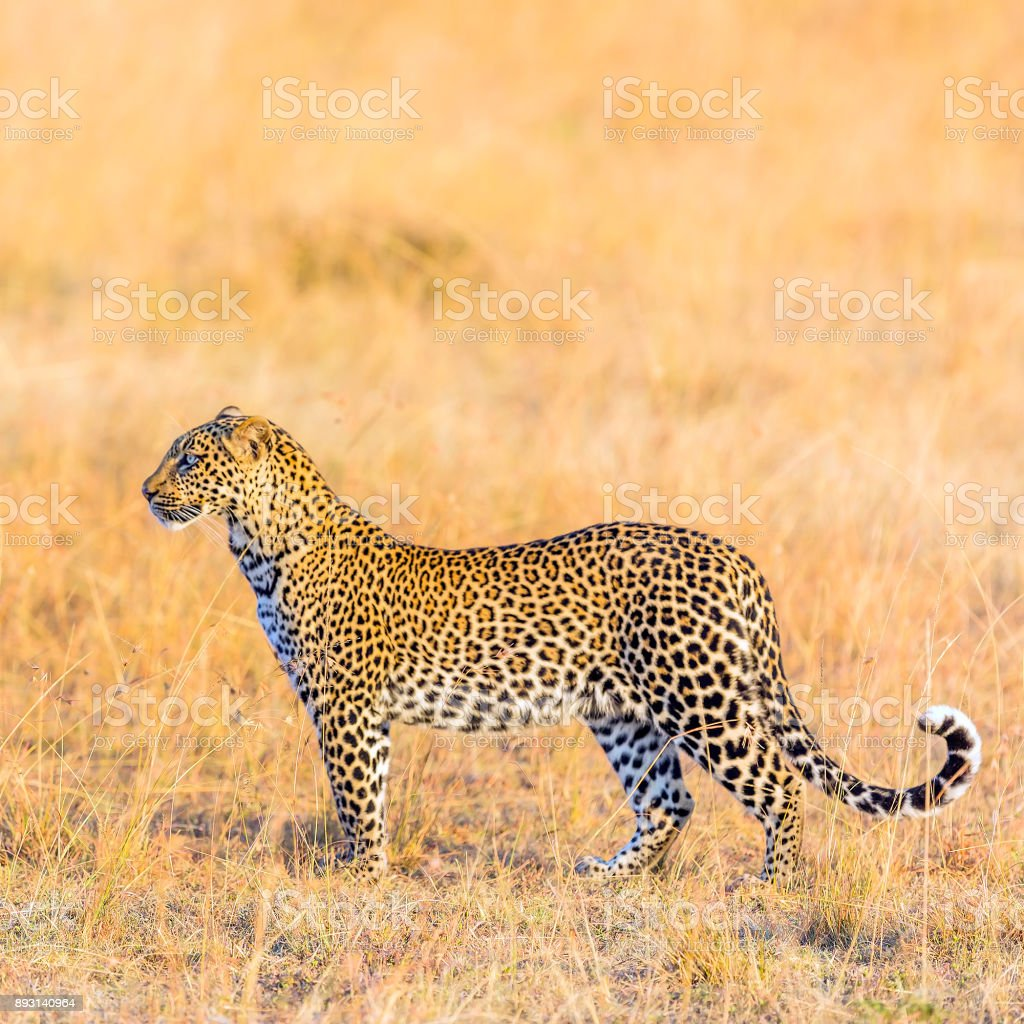 Leopard - camouflage, watching stock photo