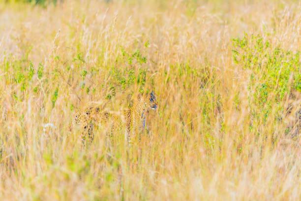leoparden-camouflage, beobachten - flecktarn stock-fotos und bilder