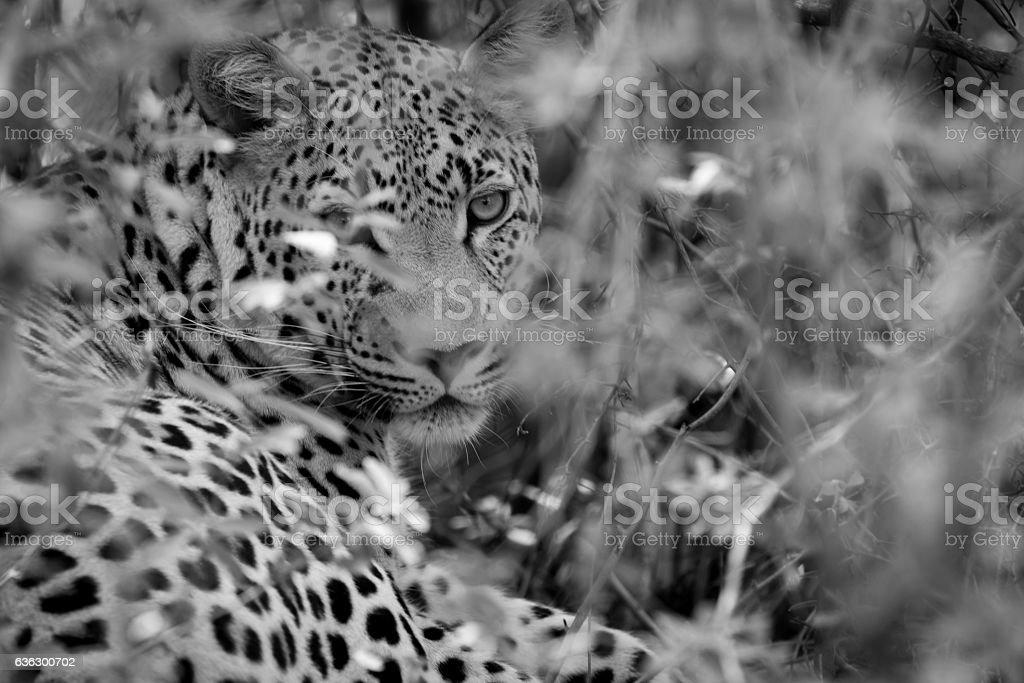 Leopard Camourflage - Okavango, Botswana stock photo