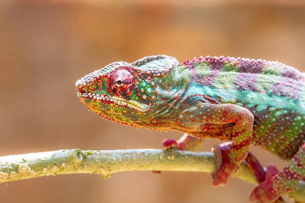 Leopard Chameleon tree climbing in Madagascar stock photo