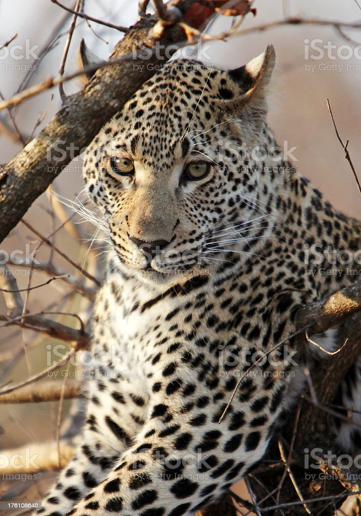 Leopard Close Up stock photo