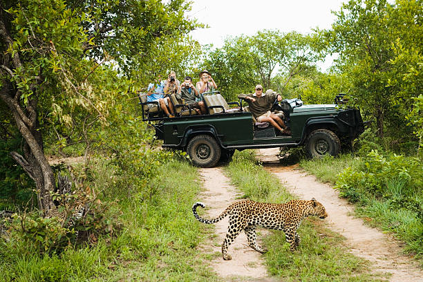 Leopard Crossing Road With Tourists In Background Leopard (Panthera pardus) crossing road with tourists in jeep in background kruger national park stock pictures, royalty-free photos & images