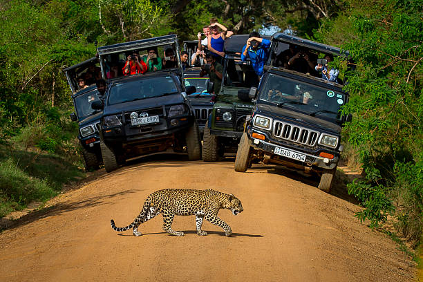 Leopard crossing the road in front of audience. National parks Yala, Sri Lanka, -  May 26, 2016: Leopard crossing the road in front of the audience. Safari. See here for a leopard - a great rarity. We were lucky. yala stock pictures, royalty-free photos & images