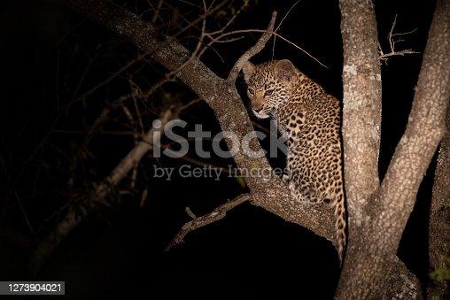 istock Leopard Cub in a Tree 1273904021