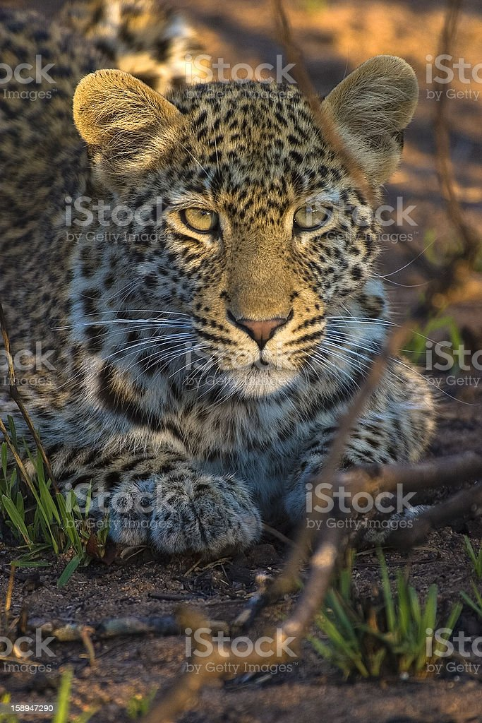 Leopard cub Mpumalanga Province, South Africa stock photo