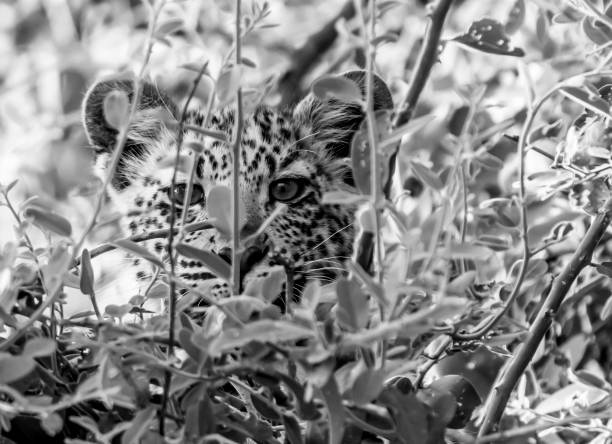 Leopard cub stock photo