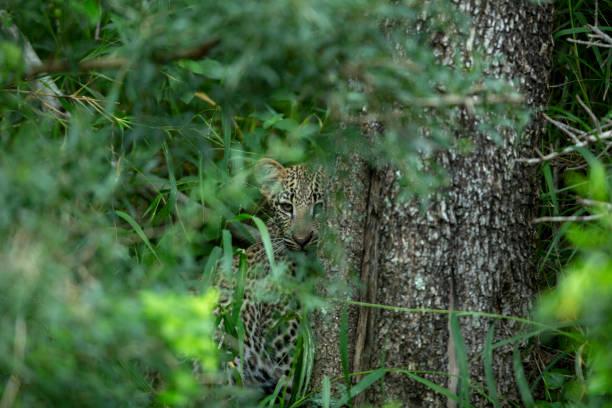 leopard Cub – zdjęcie
