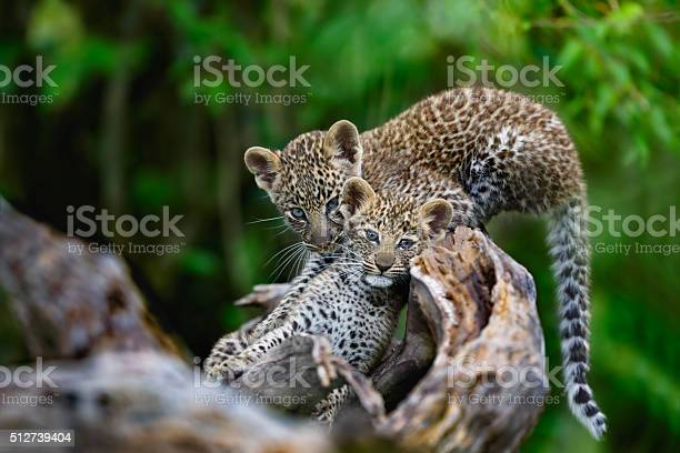 Leopard cubs on a dry tree in masai mara picture id512739404?b=1&k=6&m=512739404&s=612x612&h=hcftormkk3h8pfpwv1dt0fe2tiihadlvzf0m3 uxyd0=