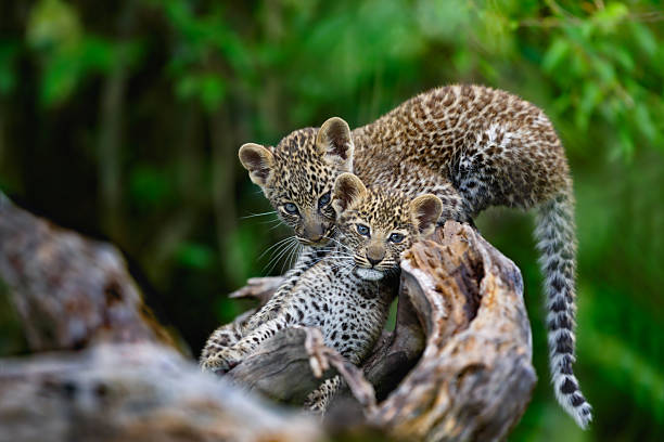 Leopard cubs on a dry tree in masai mara picture id512739404?b=1&k=6&m=512739404&s=612x612&w=0&h=oakzi do3 t70jnhaq 8pqqoiwlmtnitecxifiepvlu=