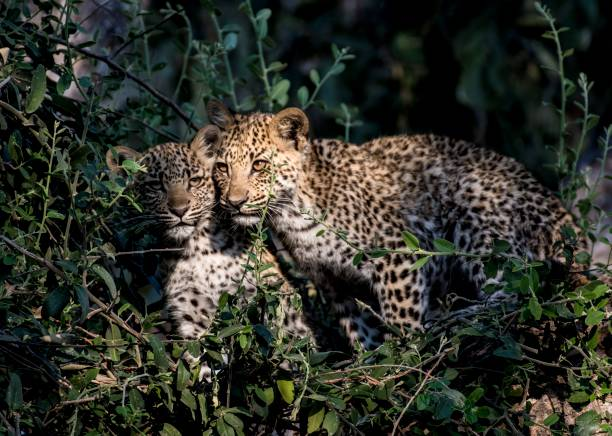 Leopard cubs stock photo