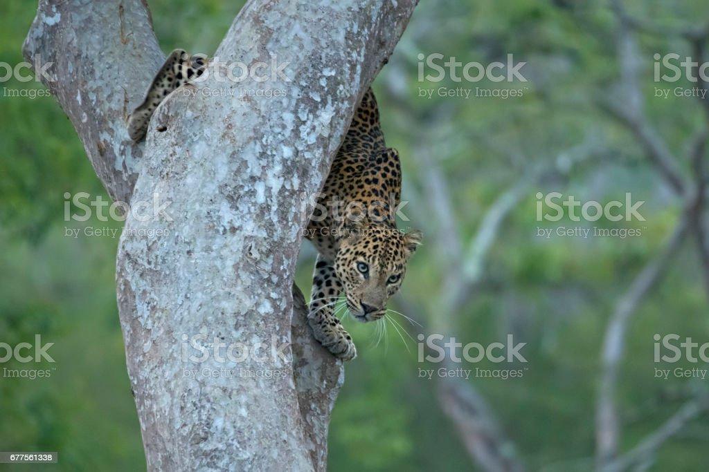 Leopard Descending royalty-free stock photo