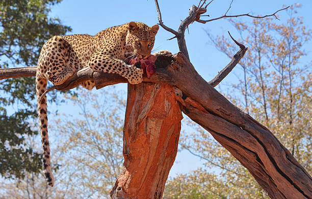 Leopard eating raw meat in a tree stock photo