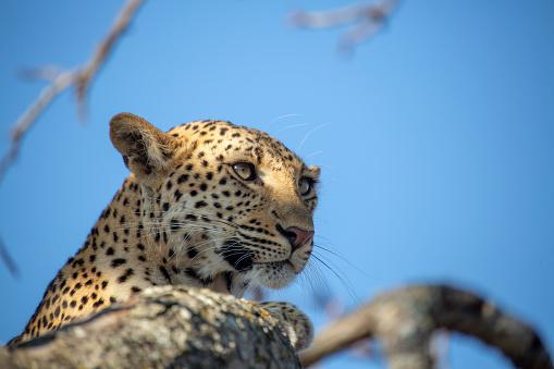 Luipaard Vrouwtje In Een Boom Stockfoto en meer beelden van Boom