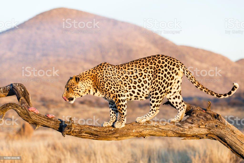 Leopard Frisst Im Baum – Foto