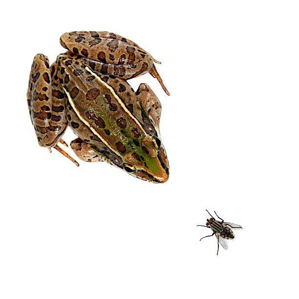 Leopard Frog and fly stock photo