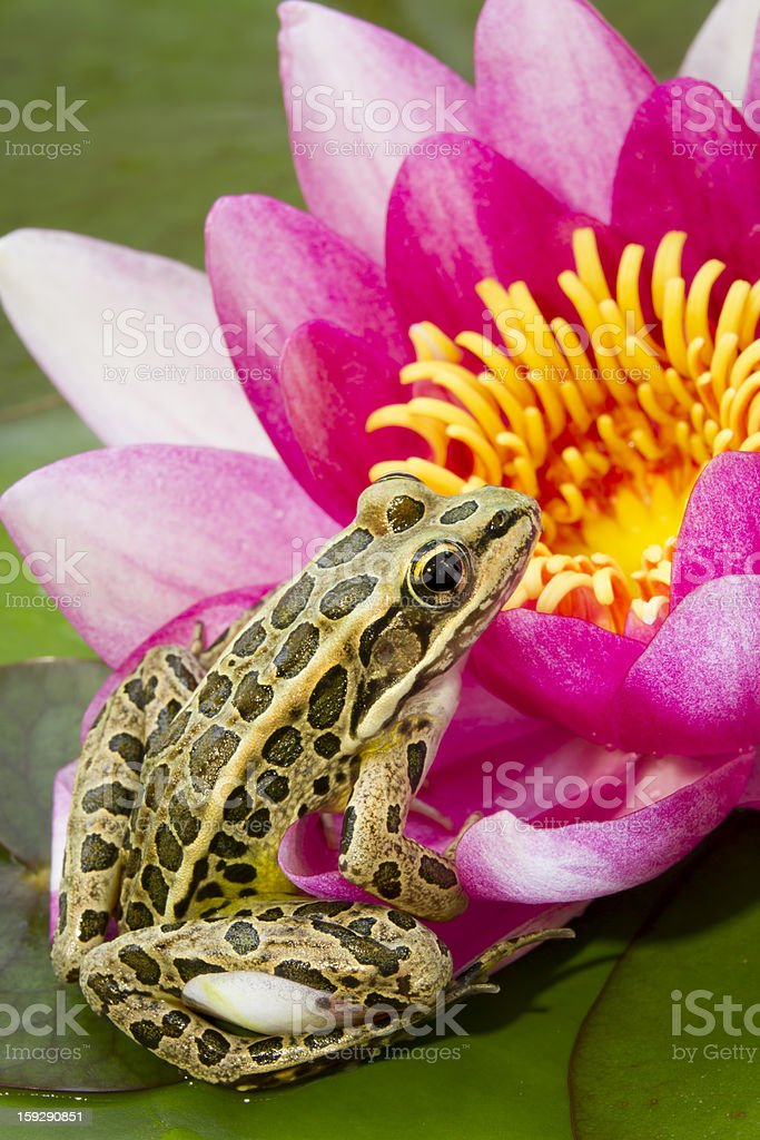 Leopard Frog and Waterlily royalty-free stock photo