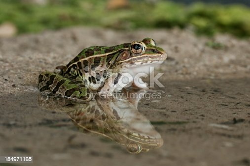 A leopard frog and its reflection at the edge of a small pool of water. TX.