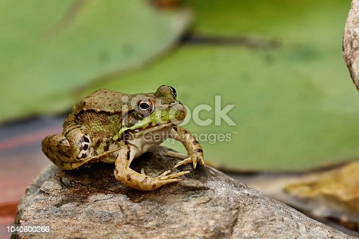 Northern Leopard Frog)rana pipiens)at conservation area in Wisconsin