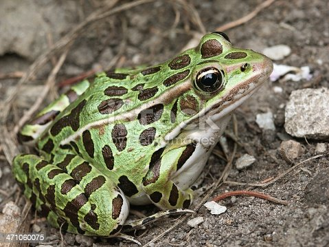 This is a Leopard Frog. Probably the Northern Leopard Frog, though I can't be 100% sure.