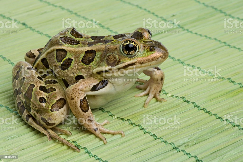 Leopard Frog royalty-free stock photo