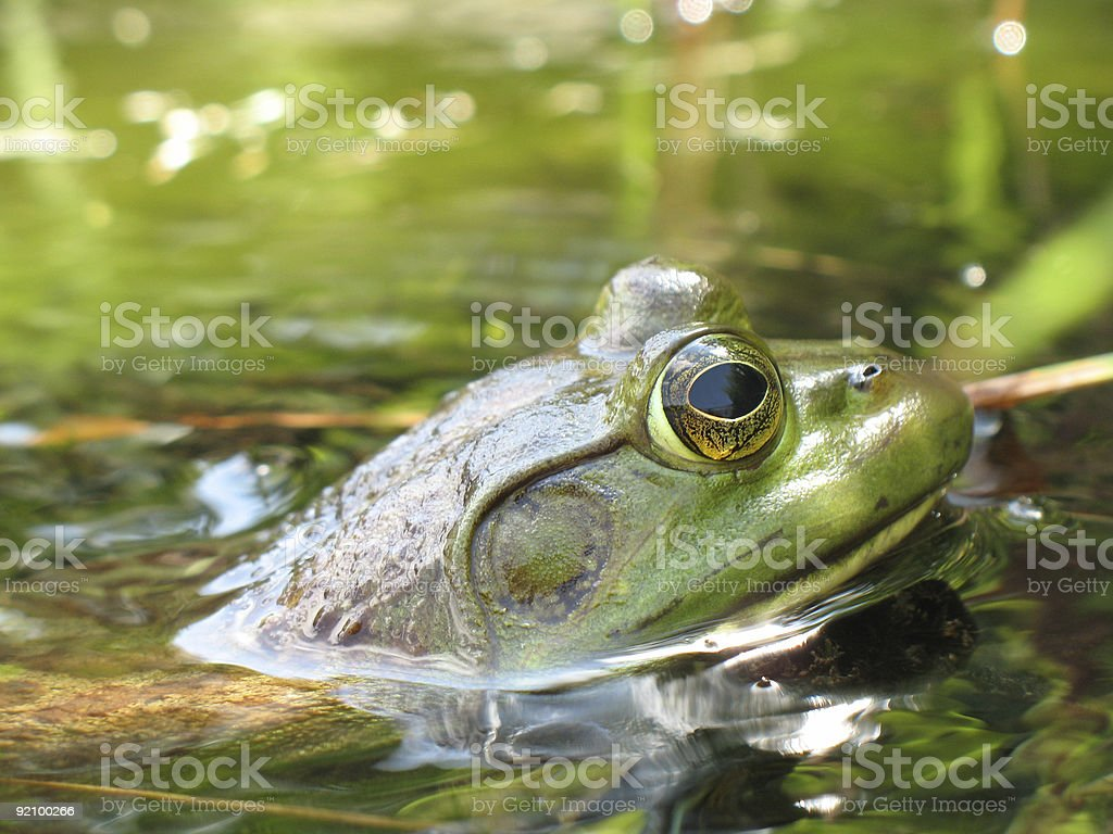 Leopard Frog (Rana pipiens) royalty-free stock photo