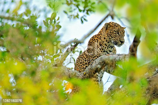 Leopard from Sri Lanka, Panthera pardus kotiya, big spotted cat lying on the tree in the nature habitat, Yala national park, Sri Lanka. Leoprad hidden in green vegetation.
