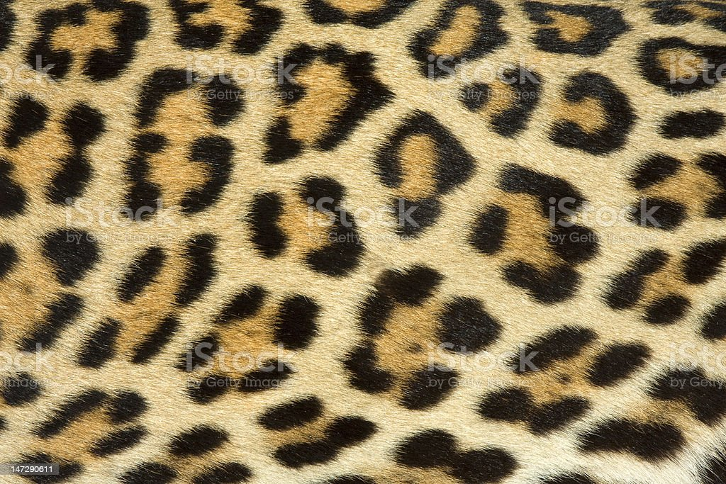 leopard fur texture (real) royalty-free stock photo