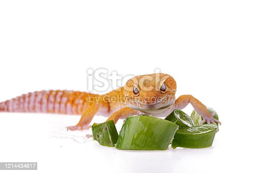 Leopard gecko isolated white background