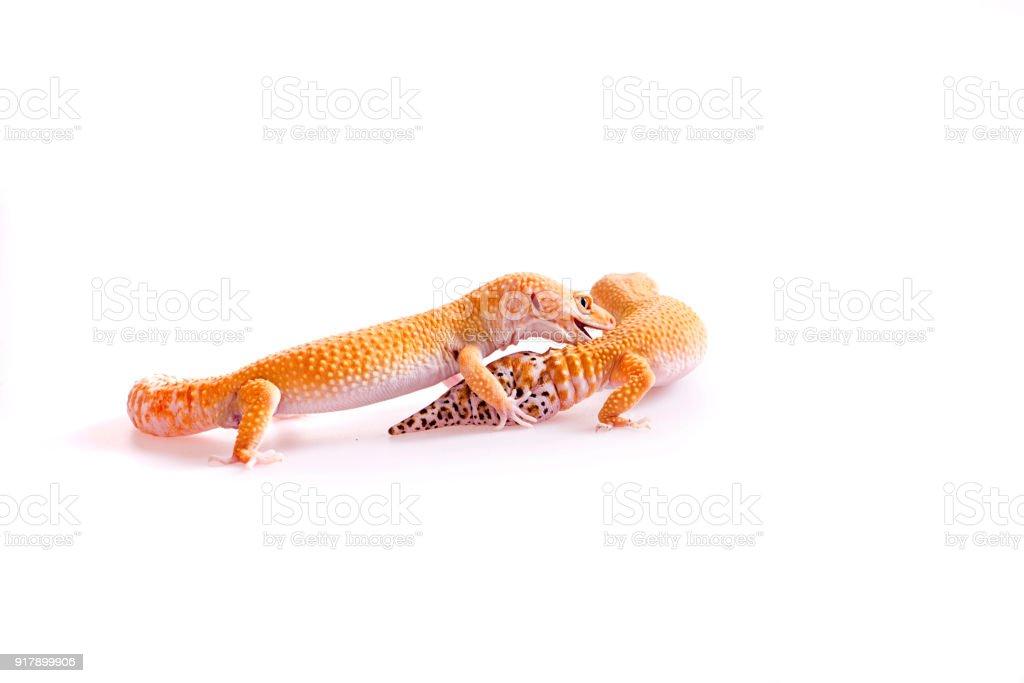 Fotografía de Pareja De Gecko Leopardo Sobre Fondo Blanco Aislada y ...
