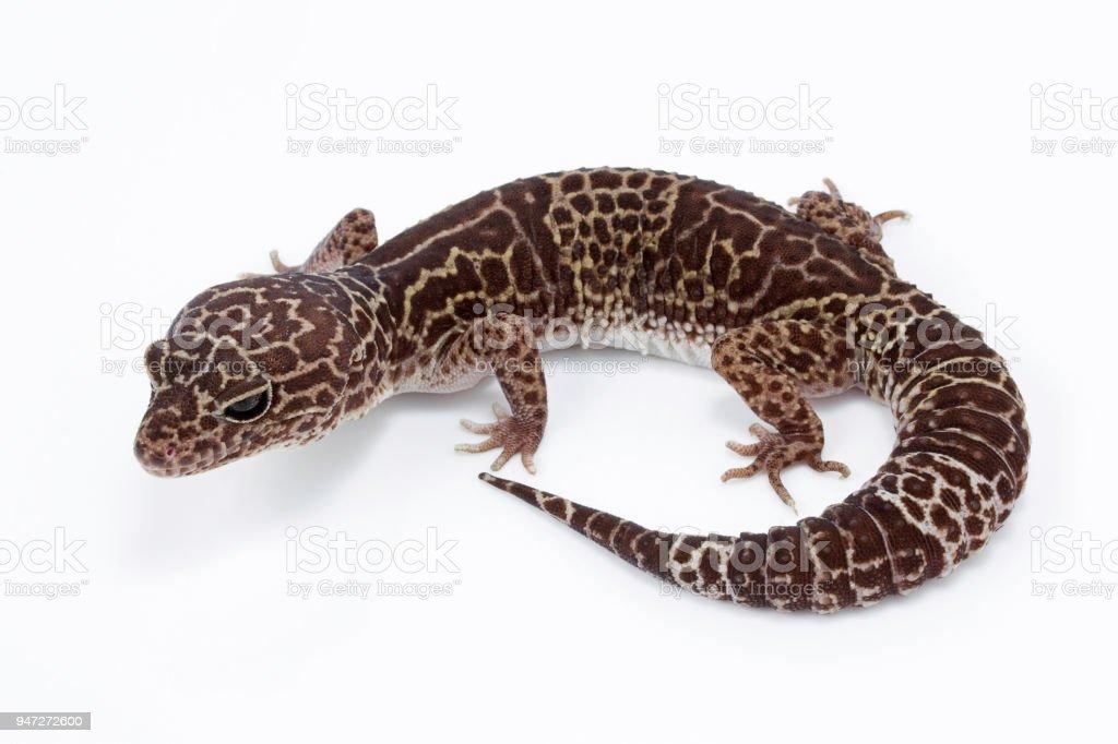 Fotografía de Gecko Leopardo Eublepharidae Sp Eublepharidae India ...