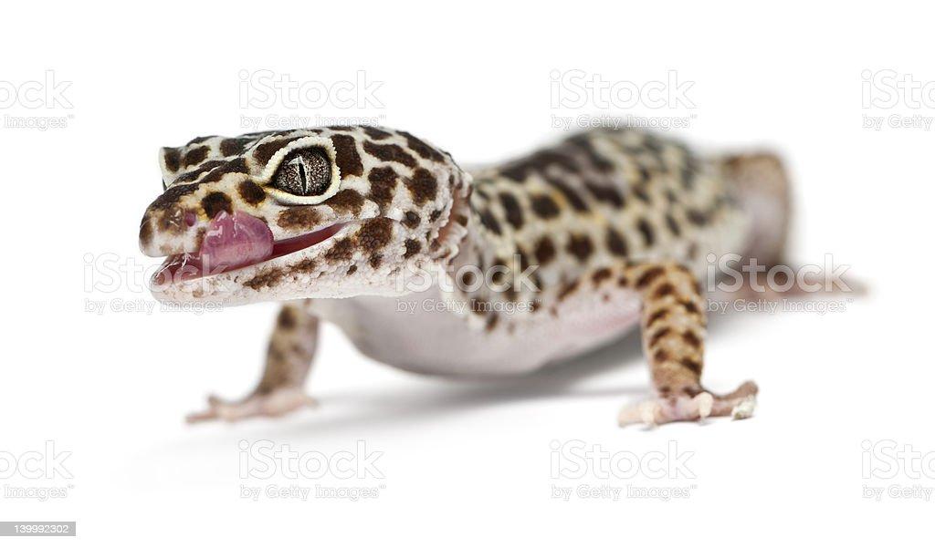 Fotografía de Geco Leopardo Eublepharis Macularius En Frente De ...