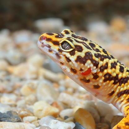 Leopard gecko Eublepharis macularius in natural environment