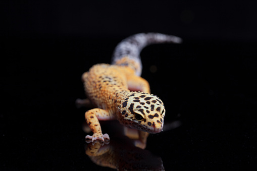 Leopard gecko, Eublepharis macularius, on black background