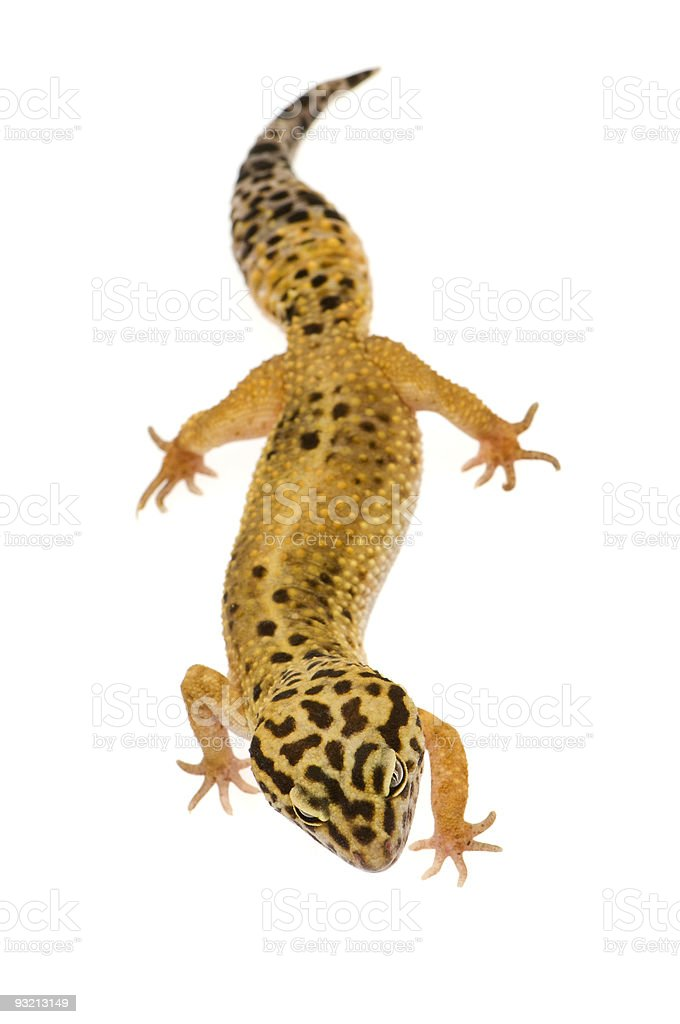 Leopard gecko - Eublepharis macularius royalty-free stock photo