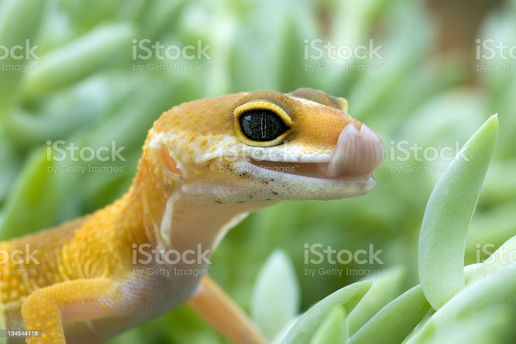 Leopard Gecko Licking his lips. stock photo