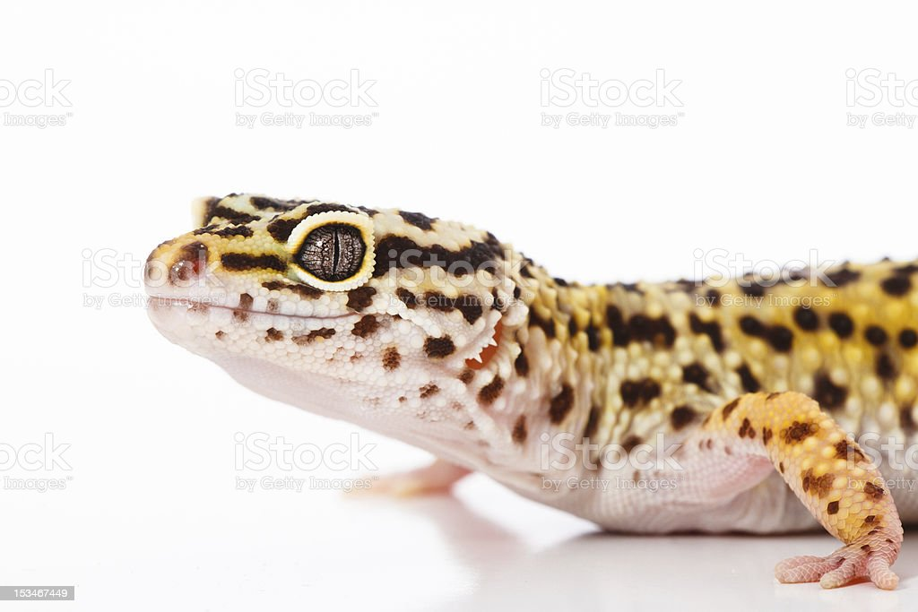 Leopard Gecko on a white background royalty-free stock photo