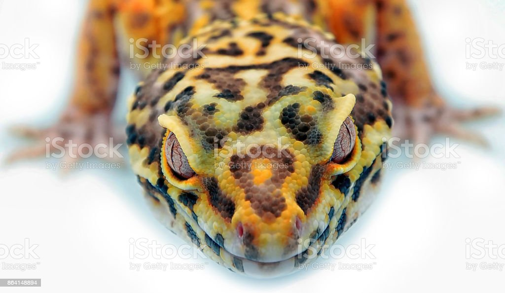 Leopard gecko on white royalty-free stock photo