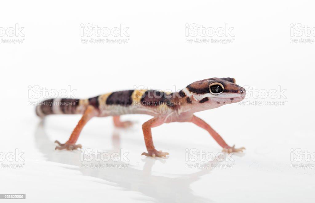 Fotografía de Geco Leopardo y más banco de imágenes de Animal | iStock