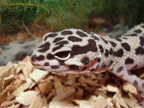 leopard gecko in terrarium
