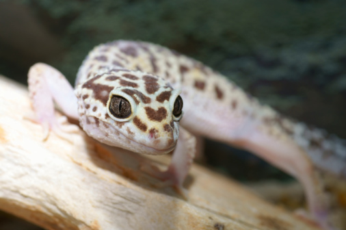 Little leopard gecko on a stone. close up.