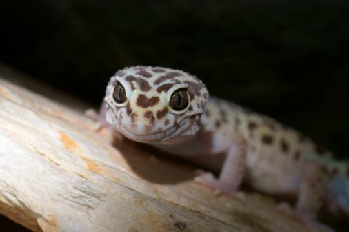 Wild lizard in terrarium, animals and nature