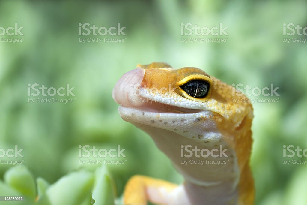 Leopard Gecko with tongue out royalty-free stock photo