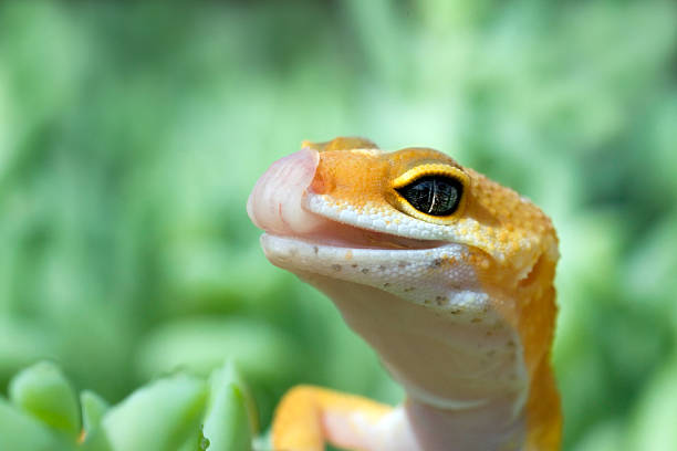 Leopard Gecko with tongue out stock photo