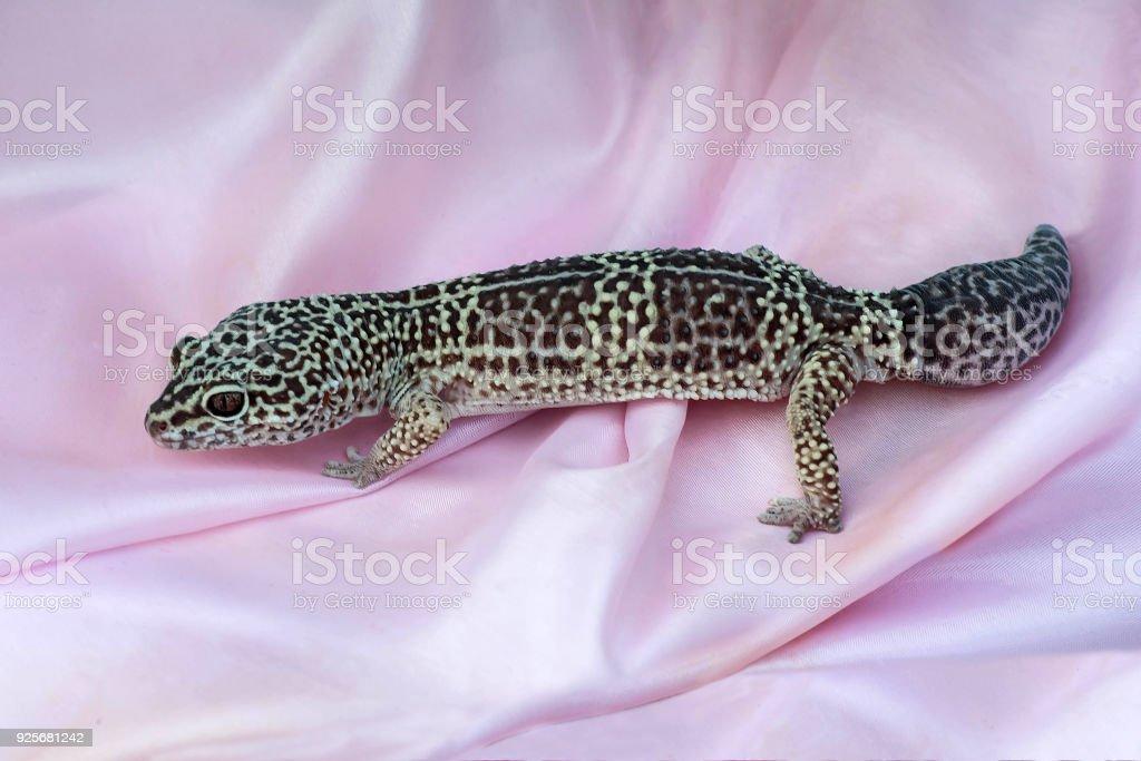 Fotografía de Geckos Leopardo En Tela De Satén Rosa y más banco de ...