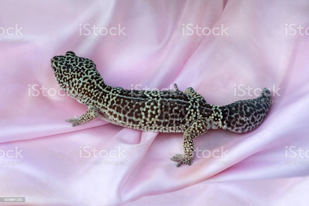 leopard geckos on pink satin fabric stock photo more pictures of